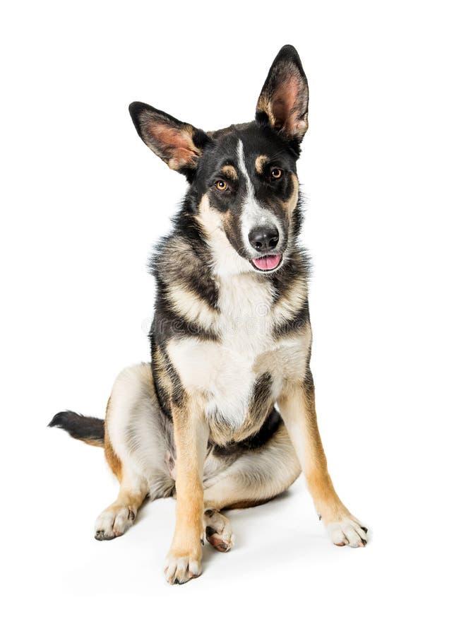 Schäfer Crossbreed Young Dog lizenzfreies stockfoto