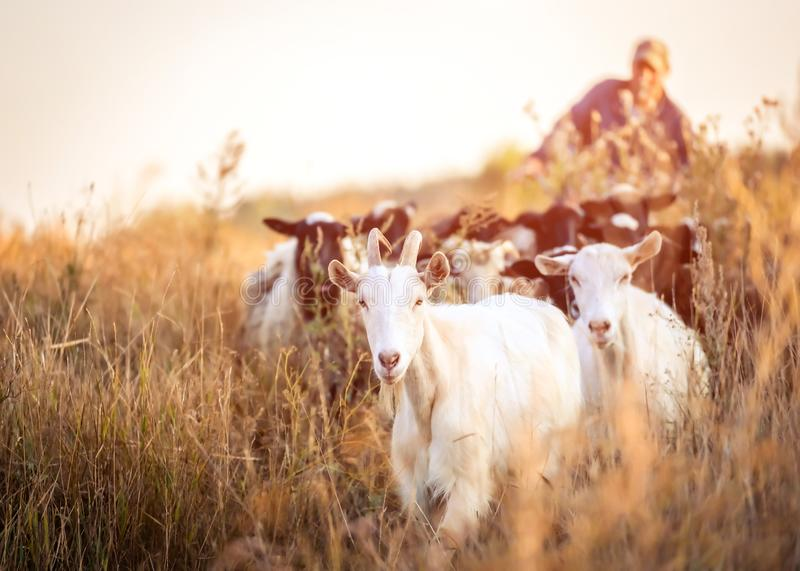Schäfer führt die Ziegen lizenzfreie stockfotografie