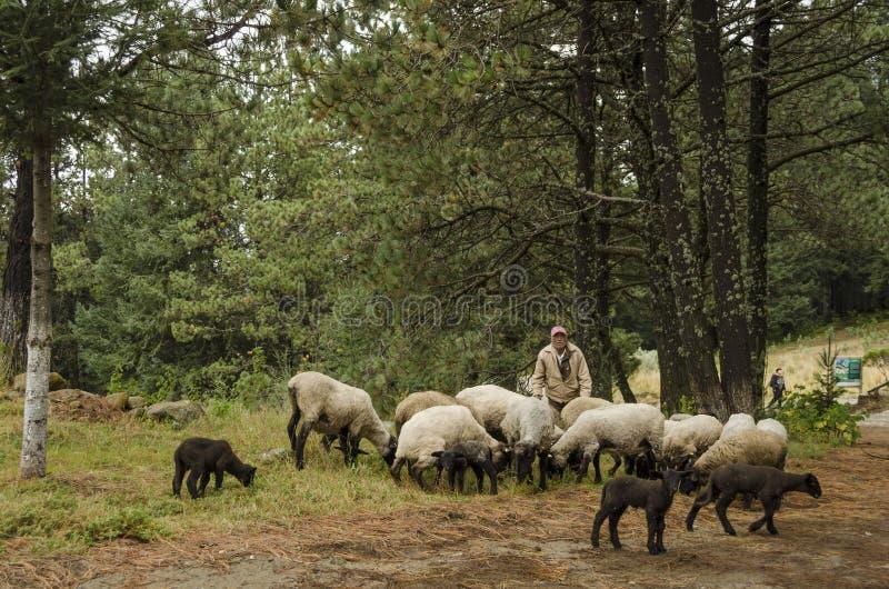 Schäfer mit seinen Schafen auf Weide lizenzfreie stockfotografie