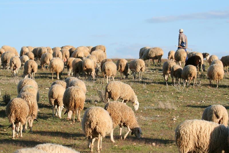 Schäfer und Herde auf einer grünen Wiese lizenzfreie stockfotografie