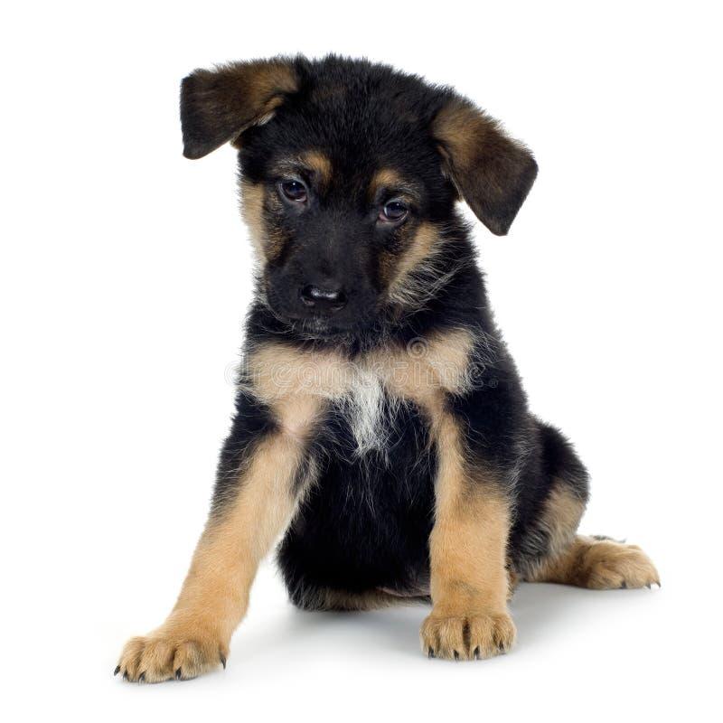 Schäferhund (7 Wochen)/Elsässer, Polizeihund lizenzfreies stockbild