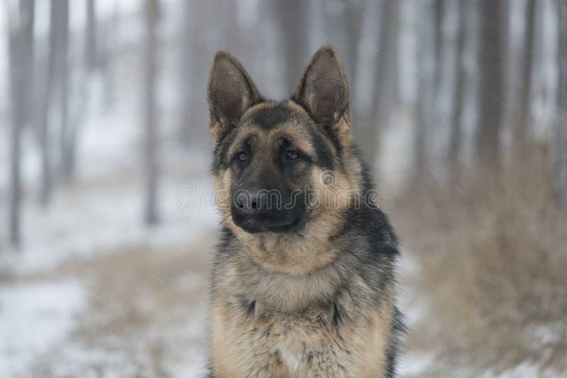 Schäferhund auf einem Winterweg im Wald lizenzfreie stockfotografie