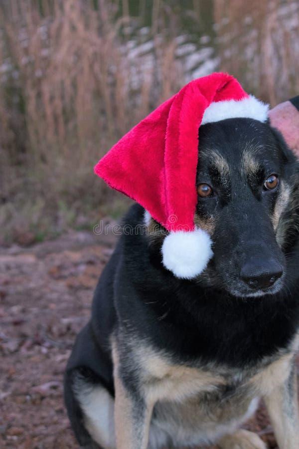 Schäferhund Christmas Porrtait lizenzfreie stockfotos