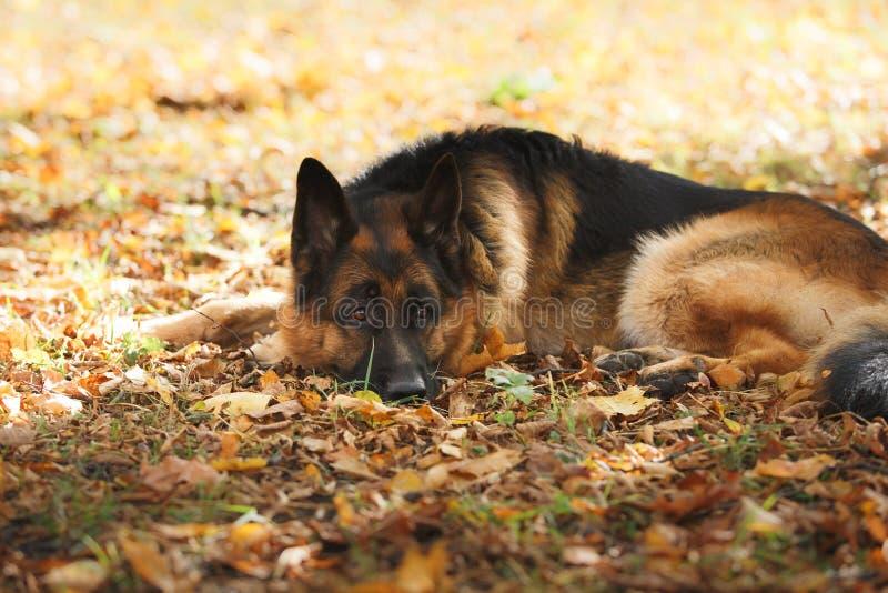 Schäferhund der Hunderasse lizenzfreie stockfotos