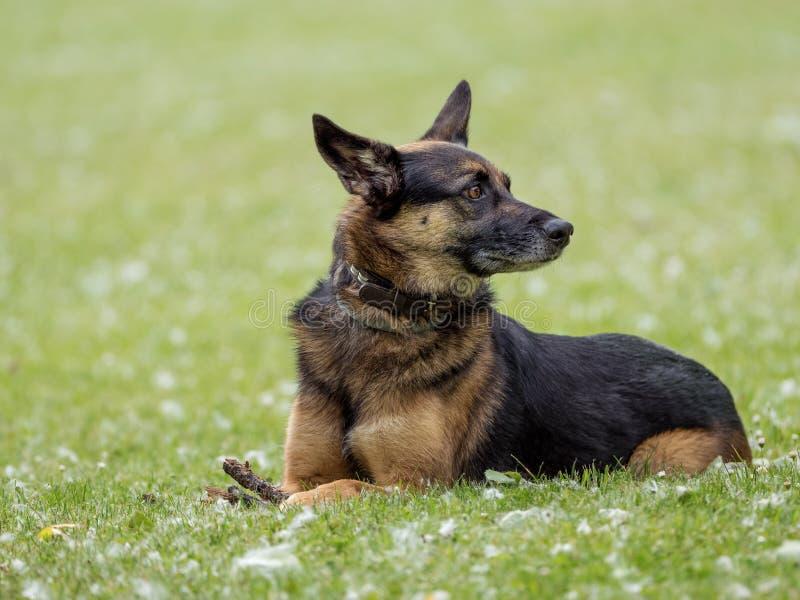 Schäferhund der Kreuzung, der in einem Naturpark sitzt stockfotos