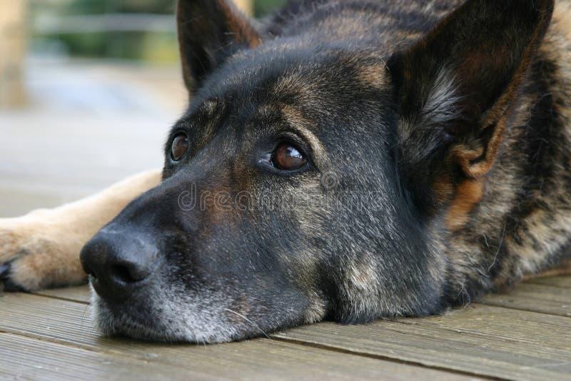 Schäferhund, der sich hinlegt lizenzfreie stockfotografie