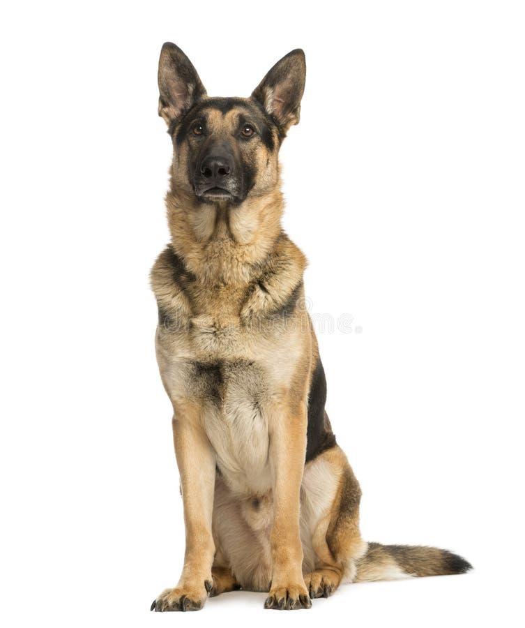 Schäferhund Und Jack Russell Mischten Mit Teckel Stockbild