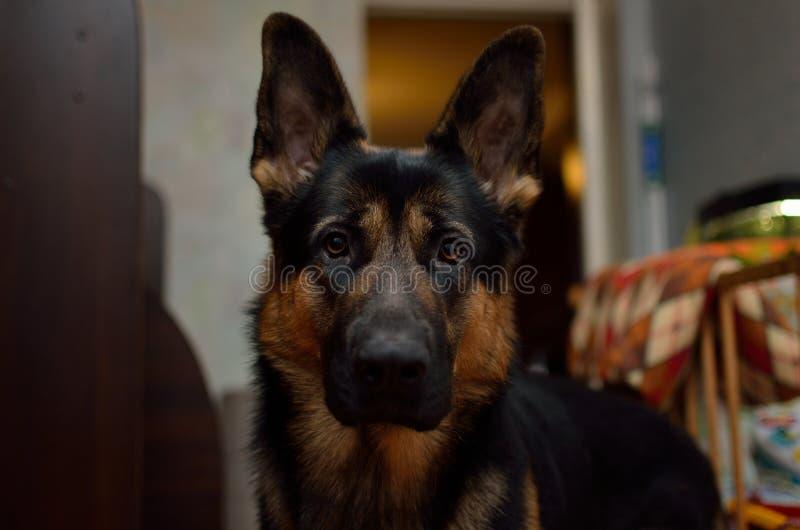 Schäferhund Dog stockbild