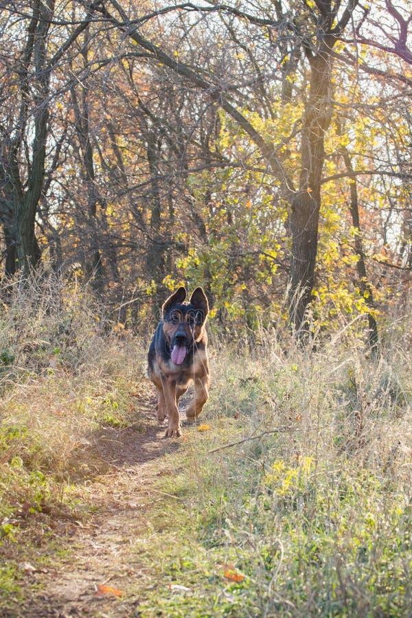 Schäferhund in einer malerischen Waldlichtung lizenzfreie stockfotografie