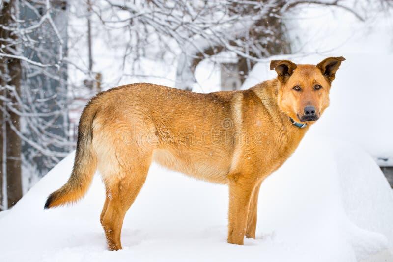 Schäferhund im Schnee lizenzfreie stockfotografie