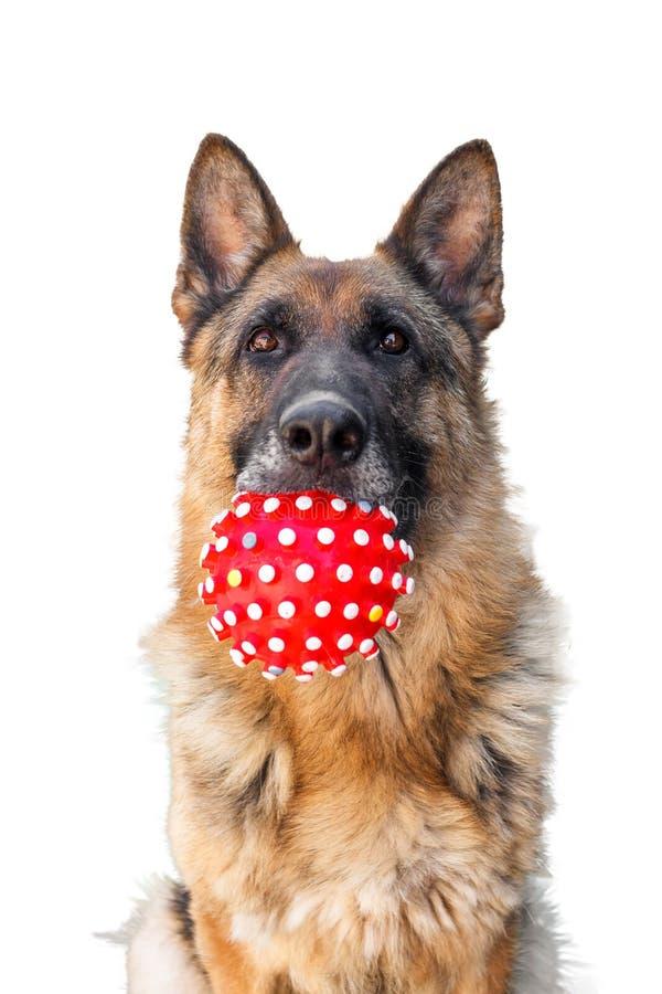 Schäferhund mit rotem Ball in seinem Mund lizenzfreies stockbild