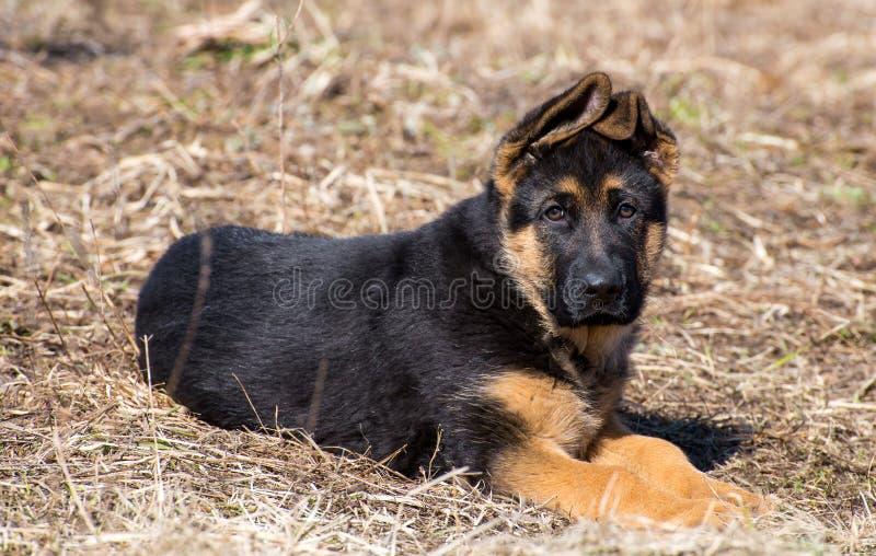 Schäferhund Puppy lizenzfreie stockfotos