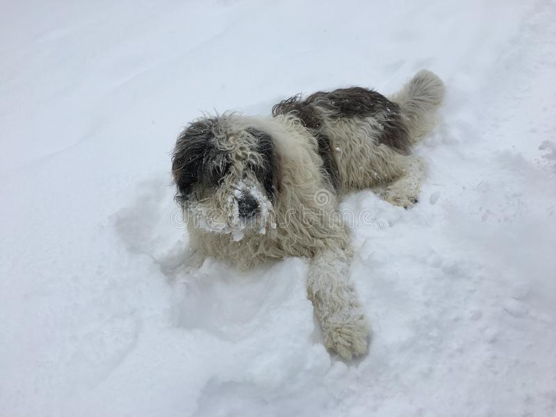 Schäferhund sitzend im Schnee stockfoto