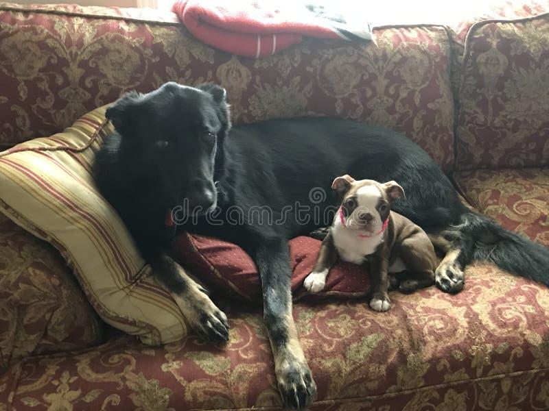 Schäferhund- und Boston-Terrier lizenzfreies stockfoto