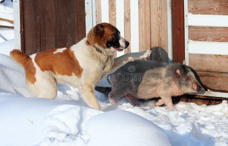 Schäferhund und Schwein stockbilder