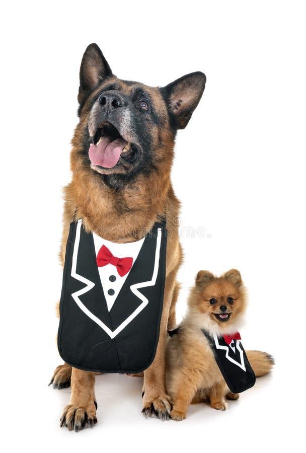 Schäferhund und Spitz lizenzfreie stockbilder