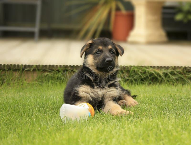 Schäferhund-Welpe