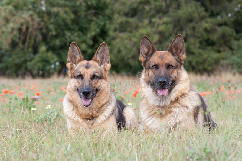 Schäferhunde stockfotografie