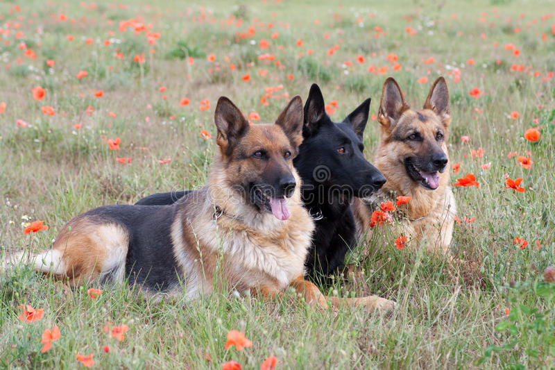 Schäferhunde lizenzfreies stockfoto