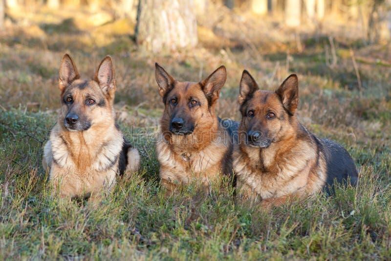 Schäferhunde stockbilder