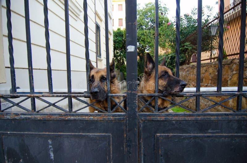 Schäferhunde, die Eigentum schützen lizenzfreie stockbilder