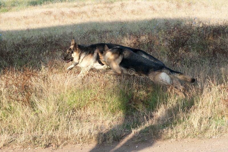 Schäferhunde im Freien stockbild