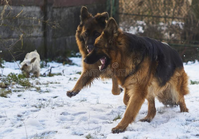 Schäferhunde laufen in den Garten im Schnee lizenzfreies stockfoto