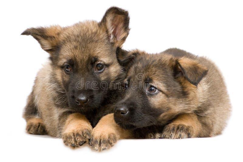 Schäferhunde puppys stockfoto