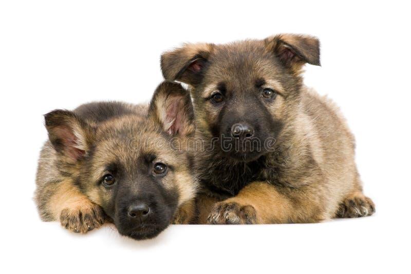 Schäferhunde puppys stockfotos
