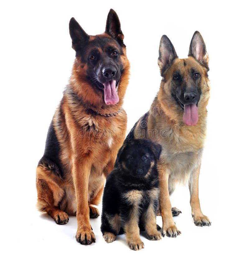 Schäferhunde und Welpe lizenzfreie stockfotos