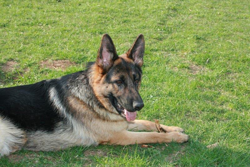 Schäferhundhund, der auf Gras liegt lizenzfreies stockfoto