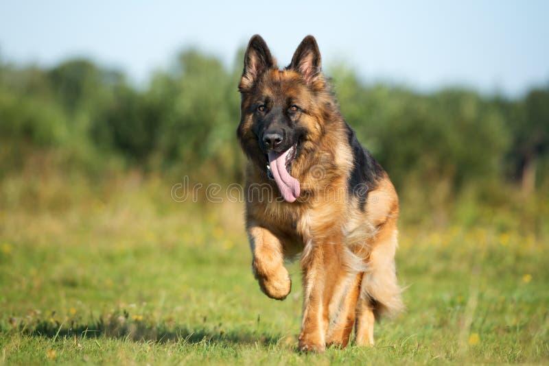 Schäferhundhund, der draußen läuft stockfotos