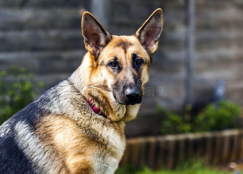 Schäferhundhunderassefrau lizenzfreie stockfotografie