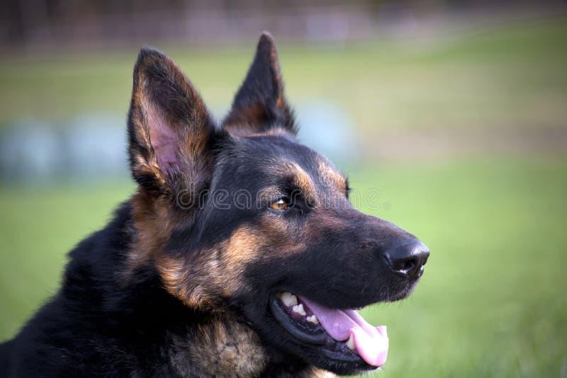 Schäferhundporträt draußen lizenzfreie stockfotos