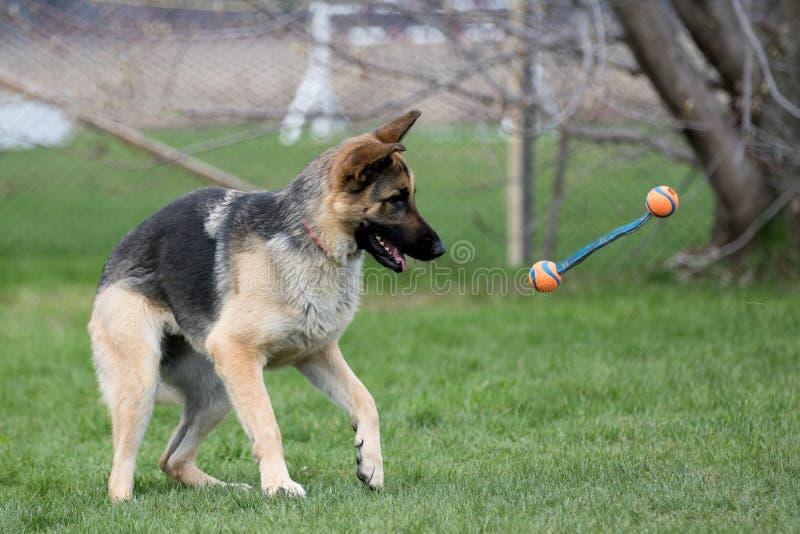 Schäferhundspielen lizenzfreies stockfoto