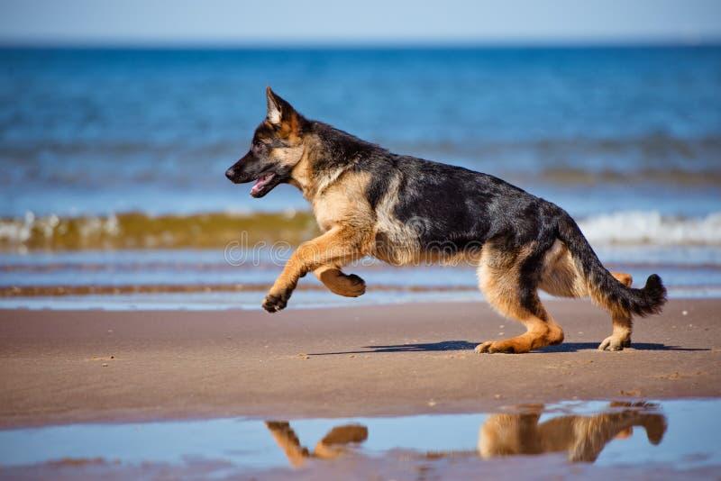 Schäferhundwelpe auf dem Strand lizenzfreies stockfoto