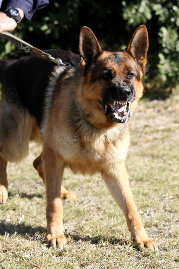 Schändlicher Polizei-Hund lizenzfreie stockfotos