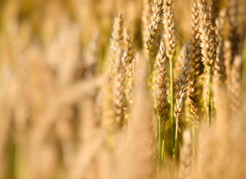 Schärfentiefe - Weizenbetriebsabschluß oben lizenzfreie stockbilder