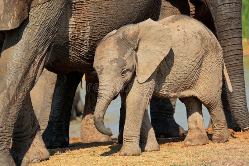 Schätzchen-afrikanischer Elefant lizenzfreies stockbild