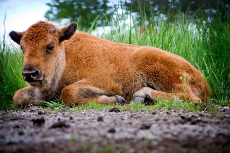 Schätzchen-Büffel-Legen lizenzfreie stockfotos