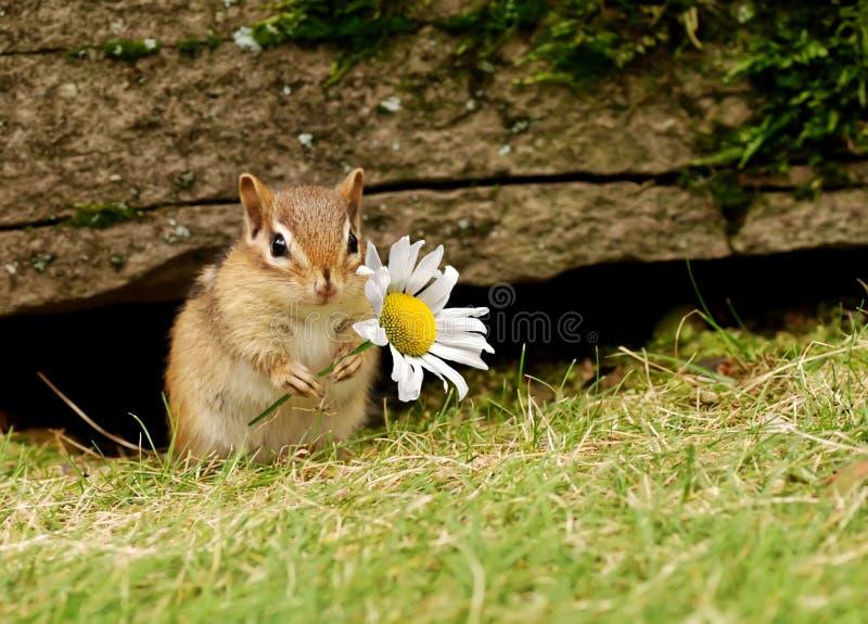 Schätzchen Chipmunk mit Gänseblümchen lizenzfreie stockfotos
