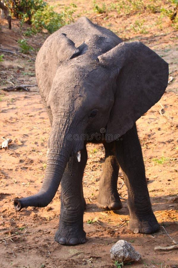 Schätzchen Elefant lizenzfreie stockfotos