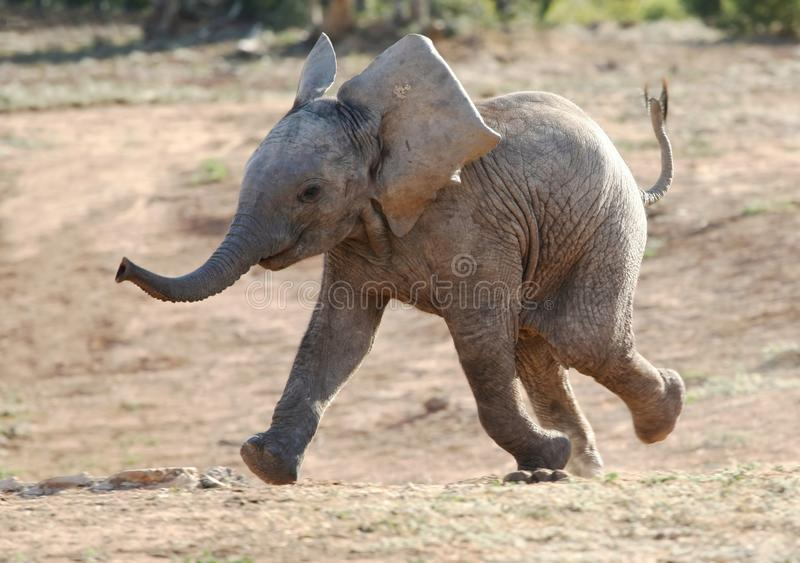 Schätzchen-Elefant-Betrieb lizenzfreie stockbilder