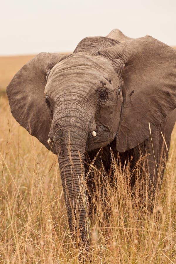 Schätzchen-Elefant in Kenia lizenzfreie stockfotografie