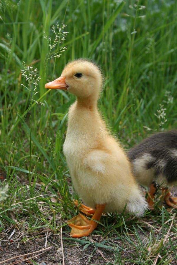 Schätzchen-Ente lizenzfreies stockfoto