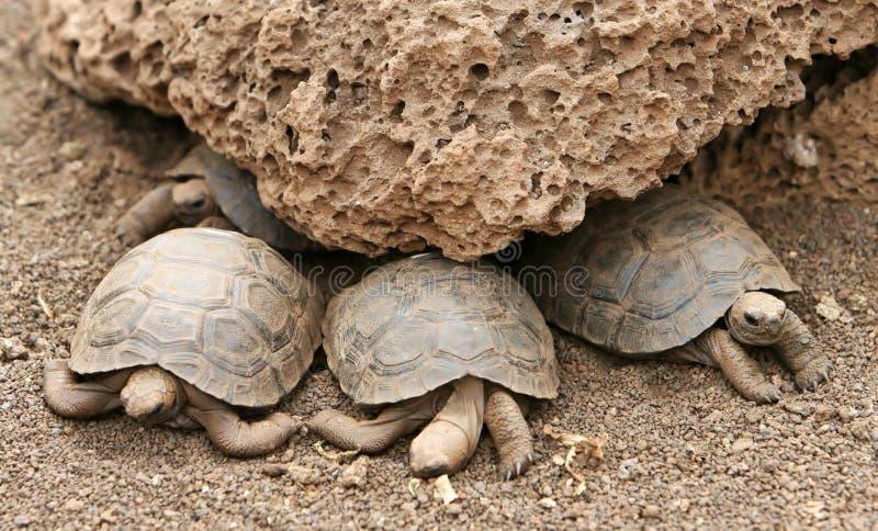Schätzchen-Galapagos-Schildkröten lizenzfreie stockbilder