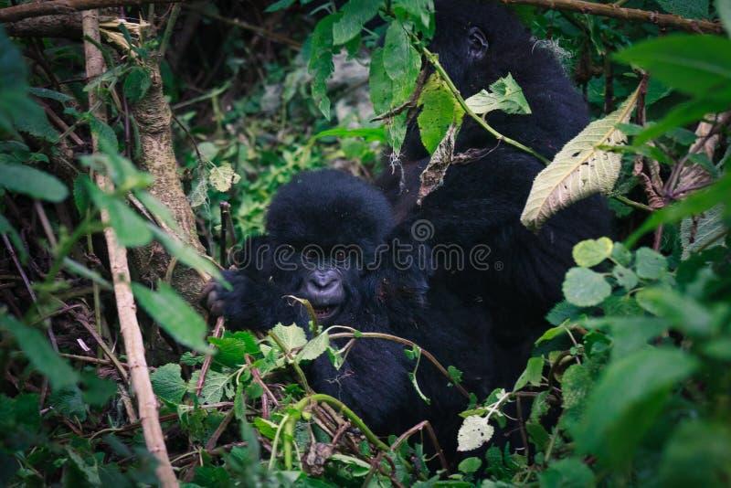 Schätzchen-Gorilla mit Mamma stockfotografie