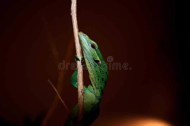 Schätzchen-grünes Baum-Überwachungsgerät - Varanus prasinus stockfotografie