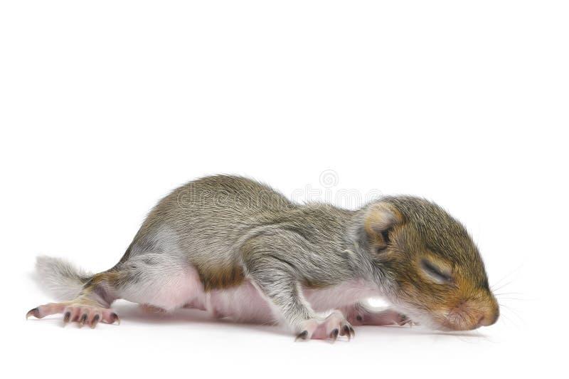 Schätzchen-graues Eichhörnchen - Sciurus Carolinensis lizenzfreie stockfotografie