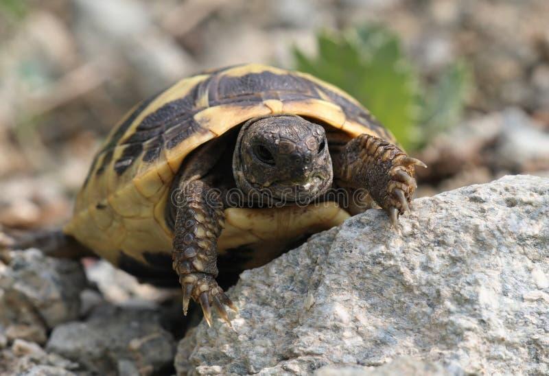 Schätzchen Hermanns Schildkröte - geschützte Sorte stockfotografie
